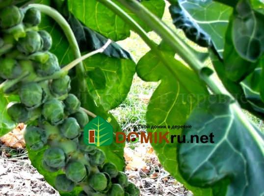 Капуста брюссельская фото выращивание и уход в открытом грунте 56