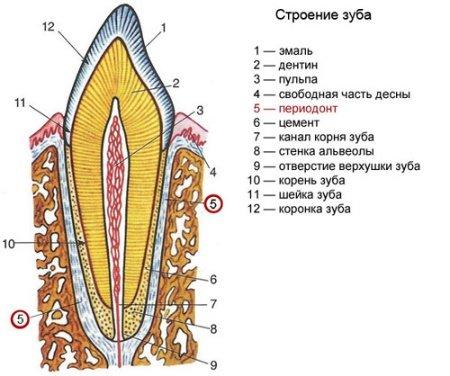 Строение зуба человека - фото, схема, картинки, строение зуба.