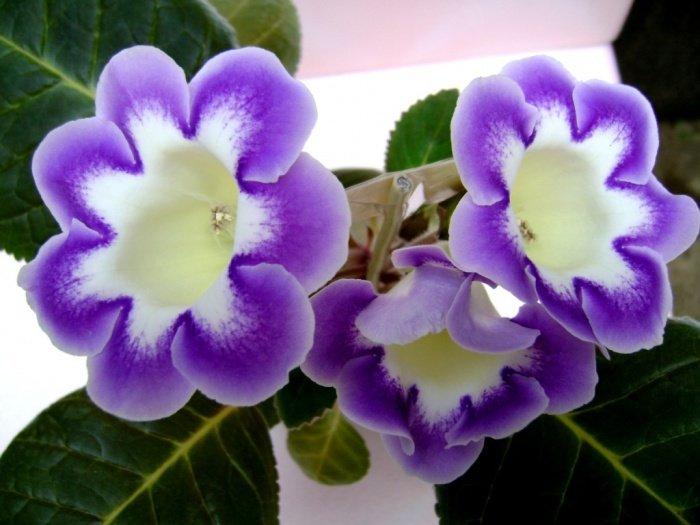 Фитофтороз на цветах фото