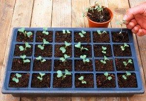 Червонокачанна капуста – вирощування та догляд