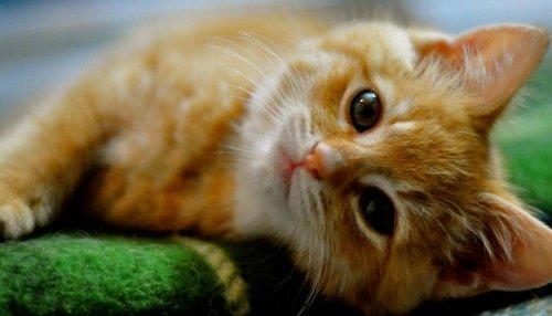 "Результат пошуку зображень за запитом ""рудий кіт"""