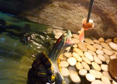 Как кормить черепашку в домашних условиях водную 462