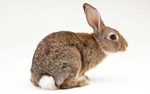 Мясо кролика — польза и вред кроличьего мяса