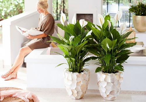 Уход за растением женское счастье
