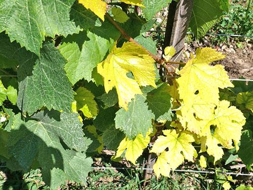 Цвет листьев винограда