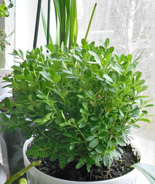 самшит растение как комнатное отзывы два кредита считаются