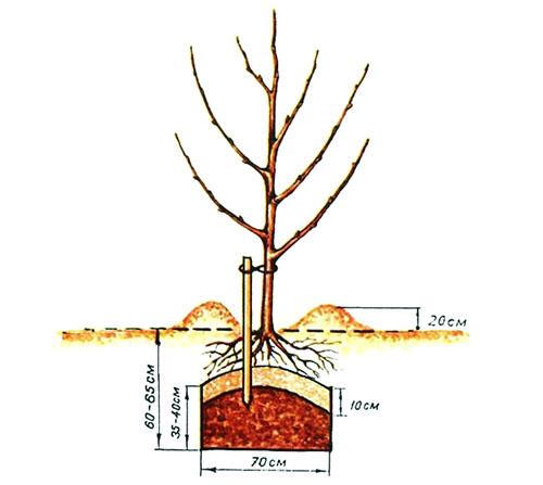 Когда сажают плодовые деревья 238