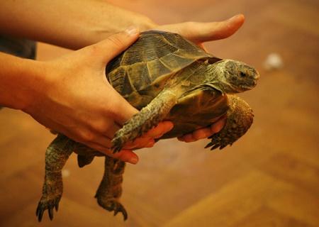 Про сухопутную черепаху в домашних условиях 102