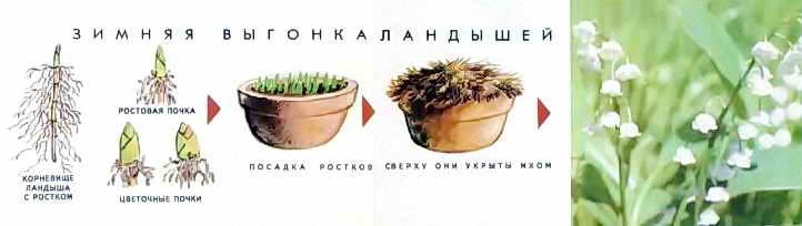 Ландыши: выращивание и уход, описание сортов ландыша