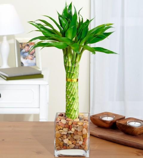 Посадить бамбук в домашних условиях