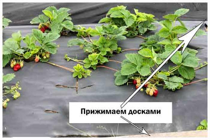 Технология выращивания клубники в открытом грунте на агроволокно 41
