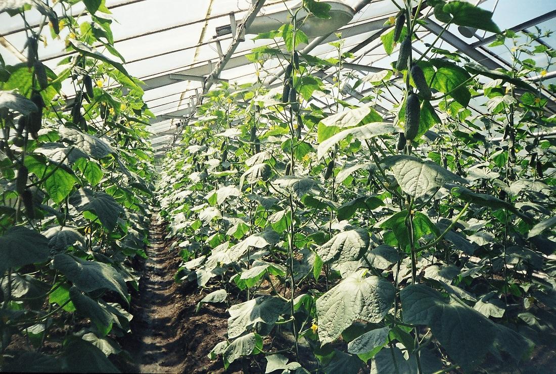 Технология выращивания огурцов в теплице зимой 97