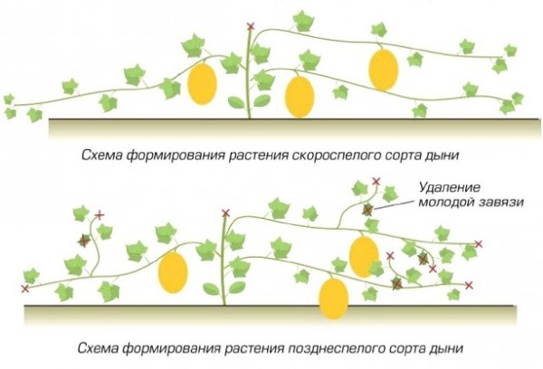Выращивание дыни в сибири в теплице 70