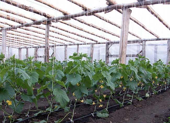Выращивание огурцов в зимней теплице как бизнес 51