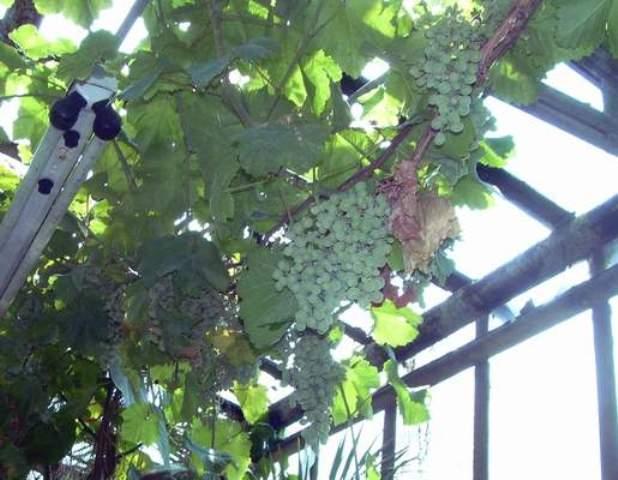 Виноград в теплице технология выращивания 819