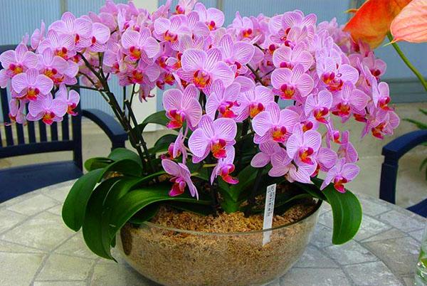 Орхідеї фото в природі фото 222-221