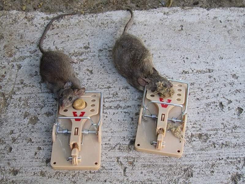 Капкана для крысы своими руками 359