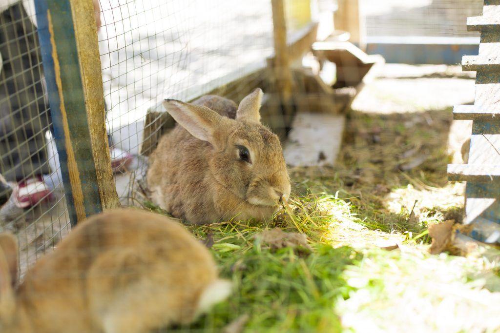 Разведение кроликов в домашних условиях подробно