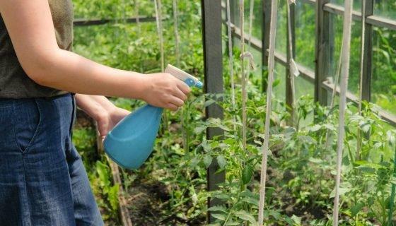 Сироватка для томатів: як обприскувати