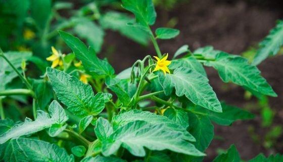 Обробка розсади помідорів: чим обприскати